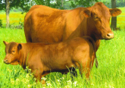 Photo courtesy of The Senepol Cattle Breeders Association, www.senepolcattle.com