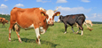 TheCattleSite - Different Breeds of Beef Cattle