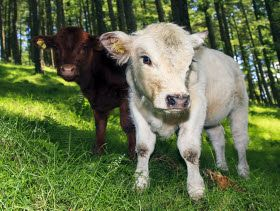 Preconditioning Plan Benefits Both Sides of Calf Industry