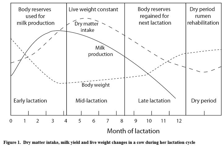 cow feature 1 managing cow lactation cycles the cattle site
