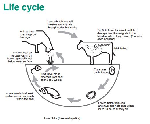 Liver Fluke The Disease And The Snail The Cattle Site