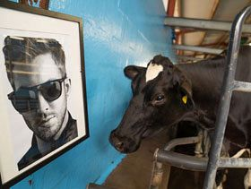 Cows Fans of Calvin Harris; Produce Award-winning Cheese